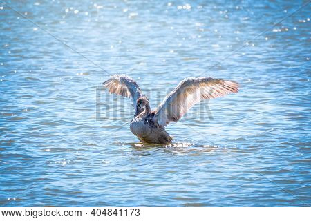 A Young Brown Coloured White Swan Flaps Its Wings On The Water. White Swan Is Flapping Its Wings Abo