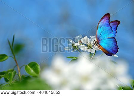 Colorful Blue Morpho Butterfly On Apple Tree Flowers. Butterfly On Flowers. Colorful Spring Backgrou