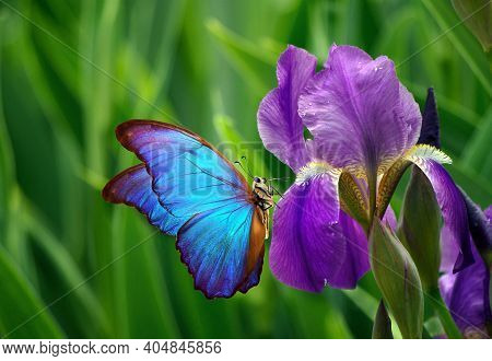 Colorful Blue Morpho Butterfly On Iris Flower In The Garden