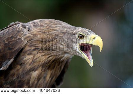 White-tailed Eagle Portrait  In Forest. Danger Animal In Nature Habitat. Wildlife Scene