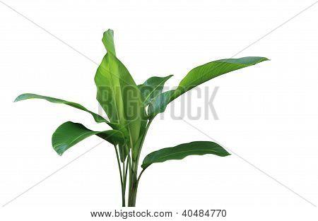 Phrynium Plant