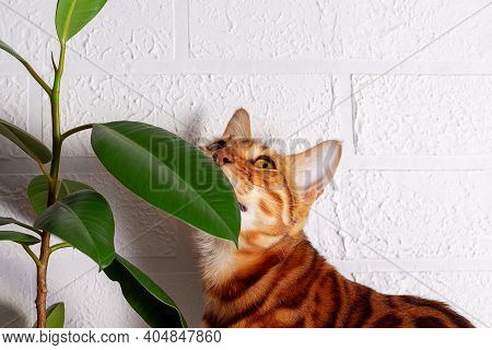 Amazing Bengal Cat In Home Jungle. Spotted Cat. Cat Sniffing. Close-up. White Brick Wall Background.
