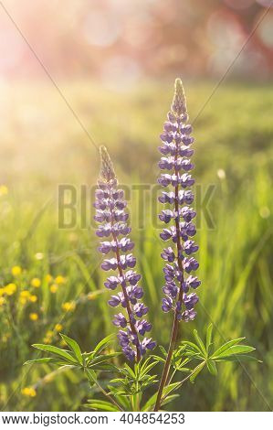 Blooming Lupine Flowers. Field And Meadow Flowers. Summer Floral Background.selective Focus. Vertica