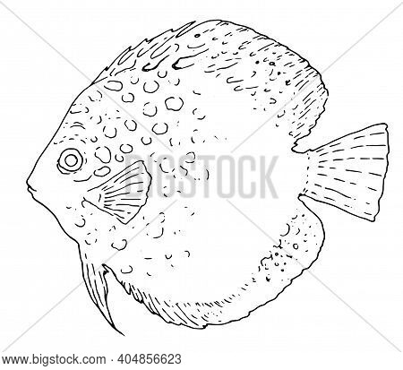 Symphysodon Heckel Sketch Of A Fish In A Hand-drawn Sketch Style On A White Background. The Vector O