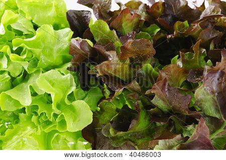 Close Up Of Green And Red Oak Lettuce