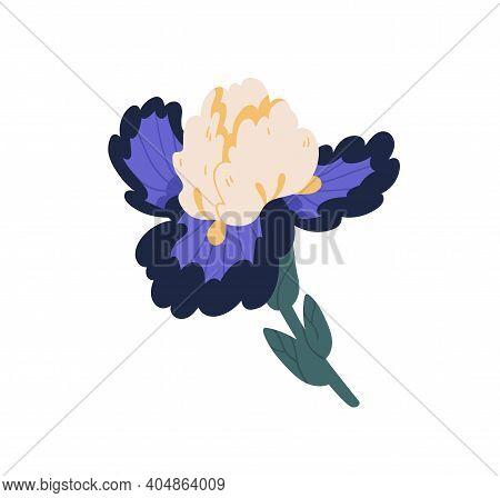 Elegant Iris Flower With Lush Petals. Gorgeous Blossomed Bud Of Spring Floral Plant. Pretty Botanica