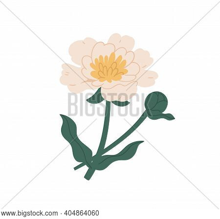 Elegant Blossomed Peony Flower With Stem And Leaves. Gorgeous Botanical Floral Element. Colorful Fla