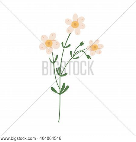 Forget-me-not Flower Isolated On White Background. Delicate Blooming Forgetmenots. Botanical Floral