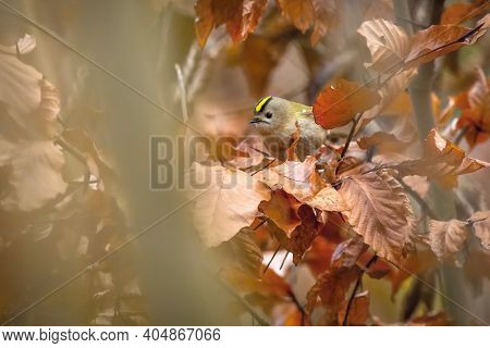 Portrait Of The Goldcrest, A Small Grey, Brown And Green Passerine Bird With Bright Golden Crest Fea
