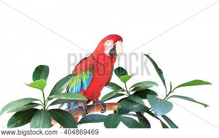 Ara parrot (Scarlet Macaw) sits on a branch among tropical leaves.  Exotical border with plants of jungle and Ara macao. Copy space for text. Isolated on white background