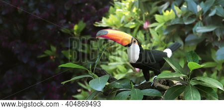 Horizontal banner with beautiful colorful toucan bird (Ramphastidae) on a branch in a rainforest. On blurred background of green color. Copy space for text