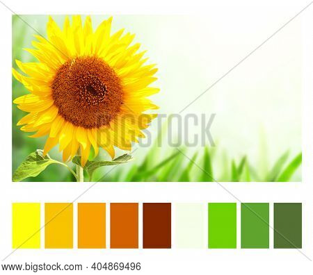 Color matching palette with complimentary colour swatches. Bright yellow sunflower on green blurred sunny background