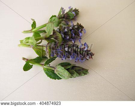Healing Herbs, Blue Flowering Bugle On A Wooden Board