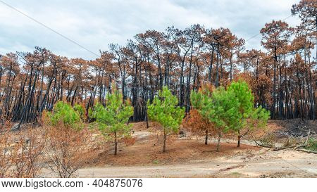 The Chiberta pine forest a few weeks after the fire, in Anglet, France