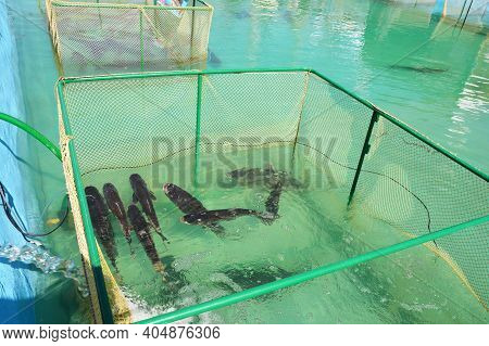 Fish Farming In Tanks, A Net Cage As A Form Of Aquaculture, When Fish, Grass Carp, Ctenopharyngodon