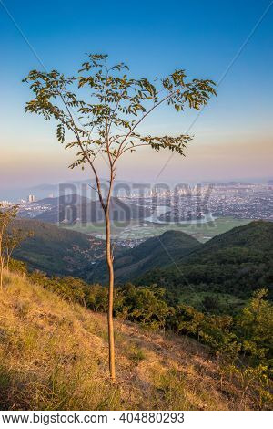 Sunset view of Nha Trang city from the mountain, tree on the foreground, Vietnam