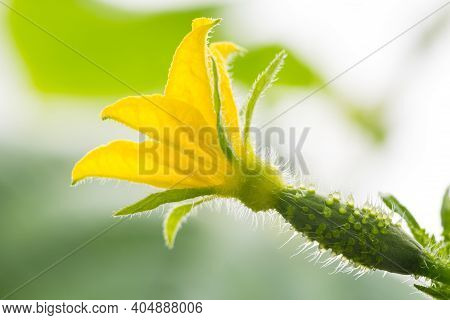 Clous-up Cucumber Gherkin With Yellow Flower On Blurred Background.
