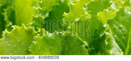 Lettuce Leaves With Water Drops, Close Up.