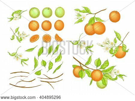 Orange Tree Branch With Ripe And Green Oranges, Flowers And Leaves. Element For Design. Vector Illus
