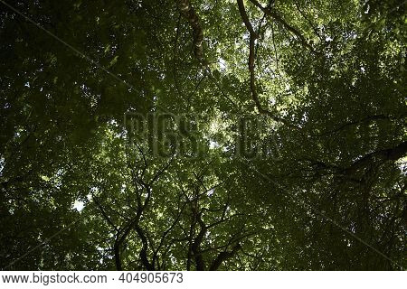 Beech Leaves On Tree Branch In A Forest