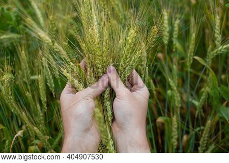 Farmer Hands Clutching Wheat Ears Close-up, Two Hands Hugging Ripe Ears, Real Color Photography