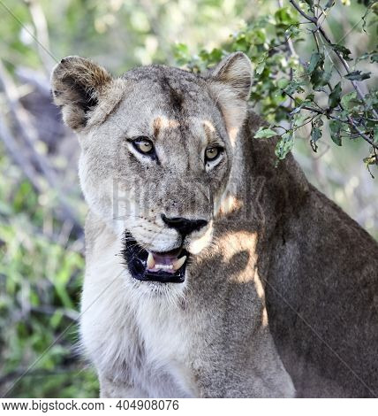Portrait Of A Wild Adult Well-fed Lioness In The Rays Of The Evening Sun. An African Lioness Rests A