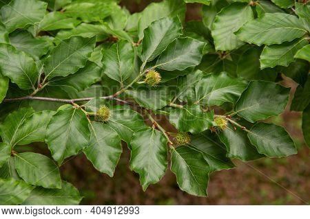 Beech Branch With Beechnuts In A Garden