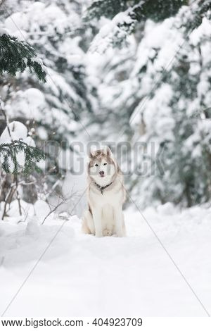 Portrait Of Beautiful, Happy And Free Dog Breed Siberian Husky Sitting On The Snow In The Fairy Wint