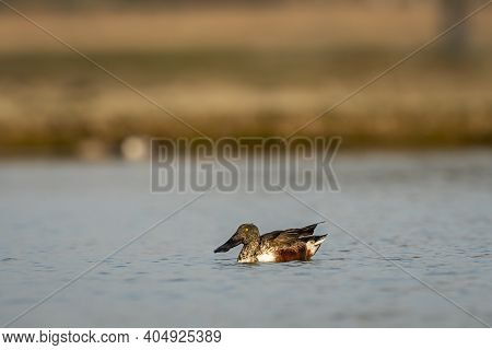 Northern Shoveler Or Shoveller Or Anas Clypeata Or Spatula Clypeata Closeup Floating In Water During