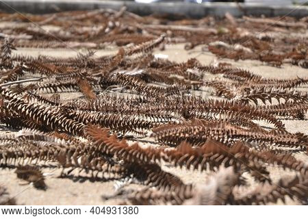 Pine Cone Branches, Differentiated Flowers Very Common In Brazil, Thrown On The Floor In A City Side