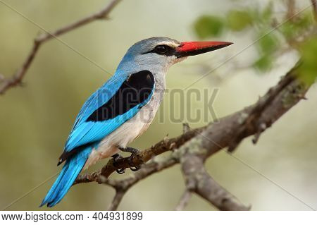 The Woodland Kingfisher (halcyon Senegalensis) Sitting On The Branch With Green Background.woodland
