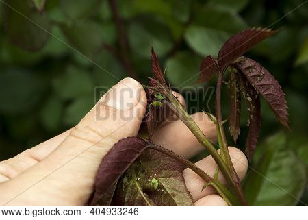 A Female Gardener Examines A Plant Infected With Aphids. Rose Infected Aphids, Gardeners Problems.