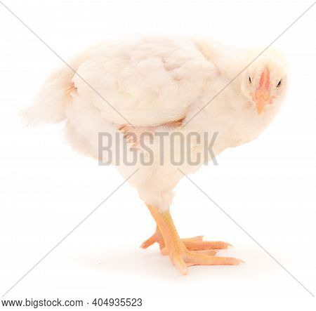 One Chicken Or Young Broiler Chickens On Isolated White Background.