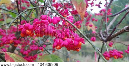 Beautiful Autumn Background With A Sprig Of Spindles Euonymus Europaeus .fruits Of Euonymus Alatus C