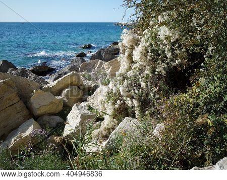 Autumn Coast Of The Caspian Sea. A Plant Covered With Fluff On The Seashore. Rocky Seashore. Kazakhs