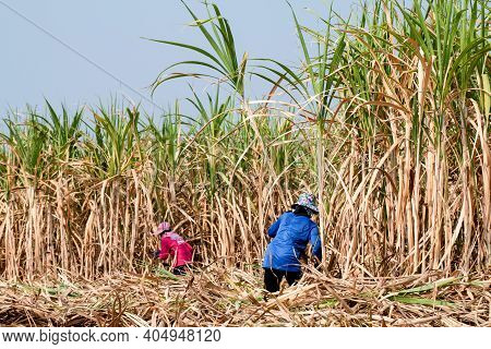 Sugarcane Farmer At Sugar Cane Field In Harvest Season, Sugarcane Plantation, Sugarcane Worker In Fa