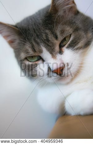 A Well-groomed Gray Domestic Cat With A Serious And Arrogant Look. Close-up Portrait Of A Pet. The N