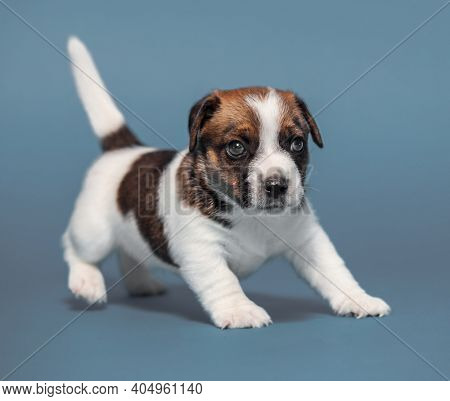 Little puppy on gray background. Young dog studio shot