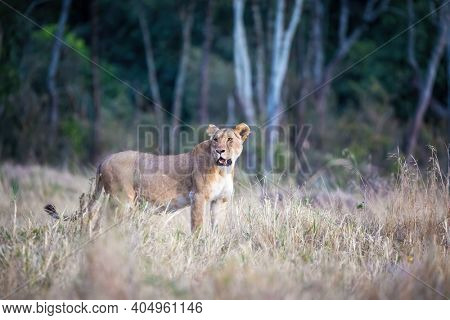 Adult lioness, panthera leo, in the Masai Mara, Kenya. This lone adult is keeping a watchful eye on activity around her.