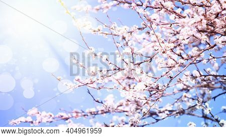 Nature Scene With Blooming Tree And Sun Flare On Sunny Day On Blue Sky Background In Spring Time. Sp