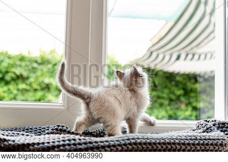Kitten In Window. Small Playful Fluffy White Kitten On Windowsill Inside The House Looks Through The