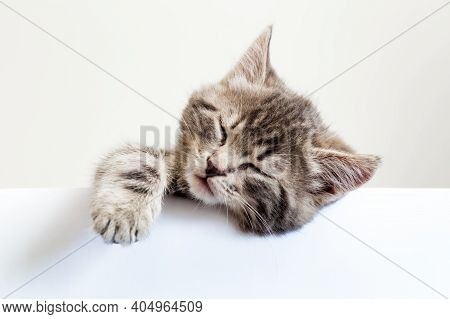 Kitten Sleeping Over Blank White Sign Placard. Pet Kitten Head With Paw Napping Behind White Banner