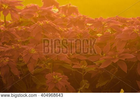 Christmas Tree (poinsettia) On Sun Light Background