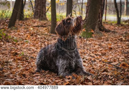 Brown-and-white Rough-coated Bohemian Pointer Bitch Of Breed Lies On Fall Leaves In Forest Looking A