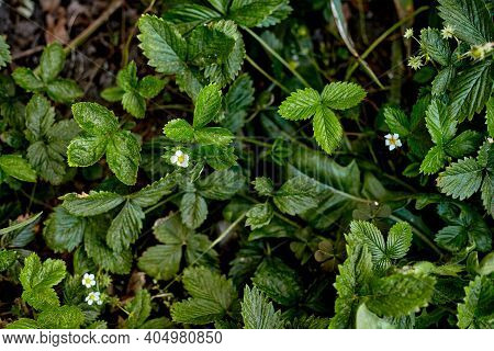 Strawberries In Growth At Garden. Strawberry Plant. Wild Stawberry Bushes. Ripe Berries And Foliage
