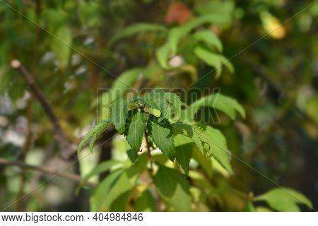 Forsythia Arnold Dwarf Leaves - Latin Name - Forsythia X Intermedia Arnold Dwarf