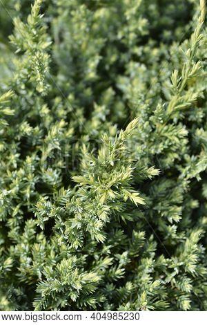 Flaky Juniper Holger Branch - Latin Name - Juniperus Squamata Holger