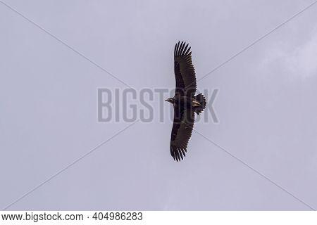 Cinereous Vulture, Aegypius Monachus, In Flight. Photo Taken In The Municipality Of Colmenar Viejo,