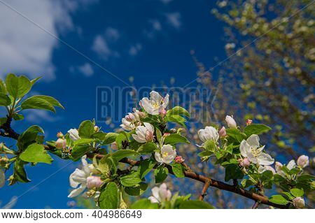 Branches With Blooming Flowers Of The Apple Tree Against The Blue Sky. Spring Season. Ukraine. Europ