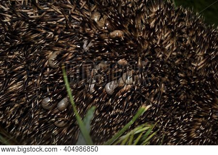 A Hedgehog Is Infected With A Large Number Of Ticks. The Invasion Of Ticks.